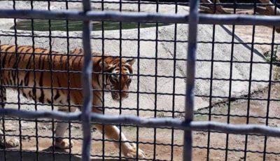 مرگ یک زرافه و ببر در باغ وحش صفادشت