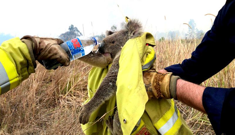 کوالا آب آتشسوزی استرالیا 2019