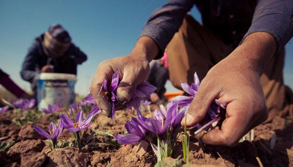 صادرات زعفران و فرش ایرانی با برند امارات