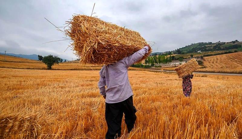 نرخ خرید تضمینی گندم در سال ۹۹ تعیین شد