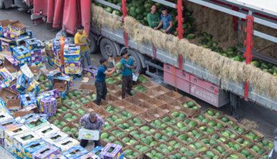 مزارع هندوانه چراگاه دام شد/ کرایه حمل بیشتر از قیمت هندوانه!