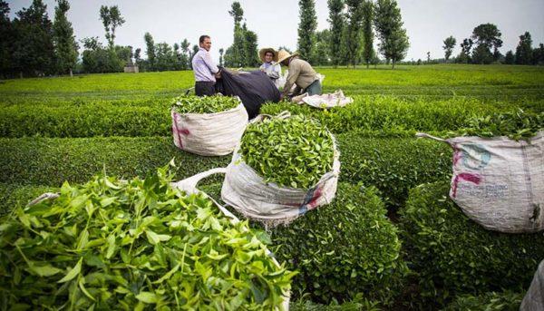 رشد ۱۰ درصدی تولید برگ سبز چای