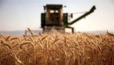 تولید گندم 50 درصد افت میکند / عدم استقبال از کودهای شیمیایی