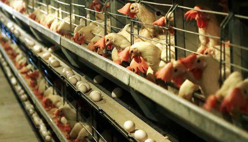 قیمت هر کیلو تخممرغ درب مرغداری؛ کمتر از نرخ مصوب
