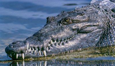 پیدا شدن تمساح در دریاچه چیتگر؟