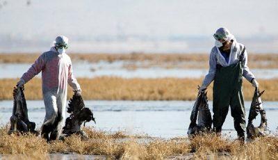 آنفلوانزای فوق حاد تعدادی از پرندگان در قم تایید شد