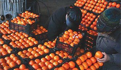 خیار ارزان شد / اینبار پرتقال کمیاب شد