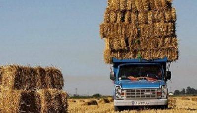 قاچاق خوراک دام به امارات/ سیل تقاضا برای کشتار زودهنگام دام