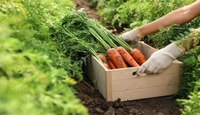 بذر هویج آمریکایی به بازار آمد / بذر هویج آمریکایی یک میلیون و ۱۰۰ هزار تومان!