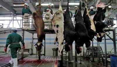 کشتار گاوهای باردار به دلیل کمبود خوراک دام/قاچاق گسترده کاه به عراق و ترکیه