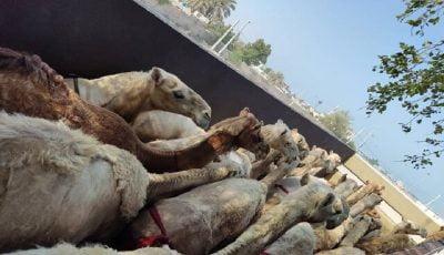 مسافران پرحاشیه گمرک/ بعد از گورخرهای آفریقایی، این بار شتران قطری!