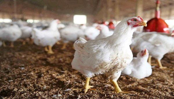 ماجرای مرغهای تریاکی شایعه بود ؟